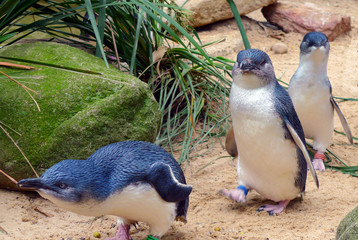 Fotobehang Pinguin Cute Australian little penguins