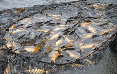 Abfischen, Karpfenteich