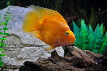 Big yellow parrot fish in aquarium