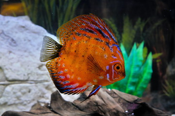 Big red discus in an aquarium