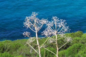 White plants at the shore of the Mediterranean Sea, with the sun glistening on the water surface, Sardinia, Italy