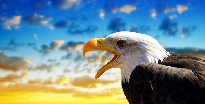 Portrait of a Bald Eagle (Haliaeetus Leucocephalus) with sunset sky at the background.