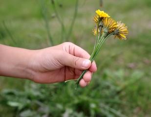 タンポポの花を摘み取る手