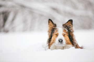 A red and funny dog breed Border sits in the snow in a snowdrift. She closed her eyes.