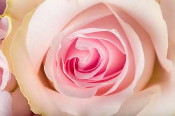 Close up of garden rose