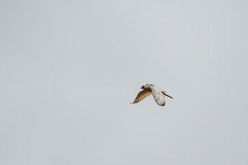 Halcón gerifalte en vuelo, con transmisor. Falco rusticolus.