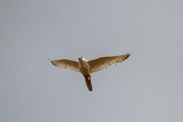 Halcón gerifalte volando. Vista inferior. Falco rusticolus.