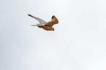 Falco rusticolus. Halcón gerifalte en vuelo. Cetrería.