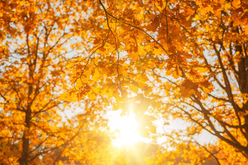 Fall, autumn, leaves background. A tree branch with autumn leaves of a maple on a blurred background. Landscape in autumn season