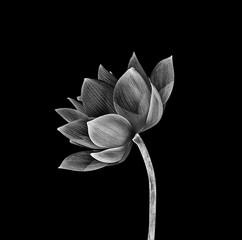 Garden Poster Lotus flower Lotus flower isolated on black background.