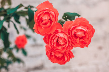 Red large roses in a garden in France