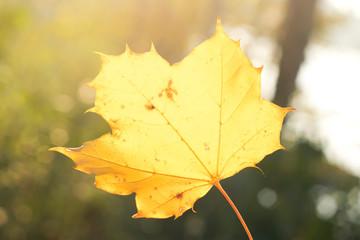 Żółty liść klonu. Jesienny liść.