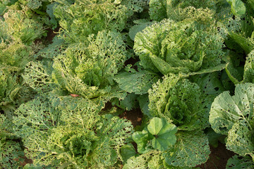 Head of Chinese cabbage in the ground damaged by insects.