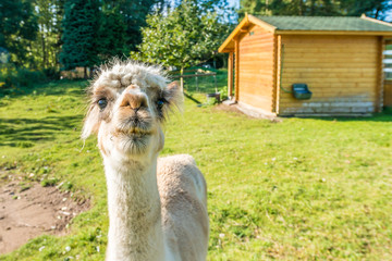 The llama is a very social animal, widely used as a meat and pack animal.