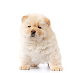 Search Photos Chow Chow