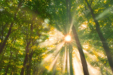 Beams of morning sun filtering through the tree and fog