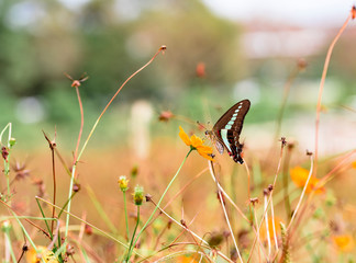 Butterfly Cosmos insect