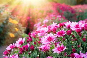 Obraz Pink chrysanthemum flowers in sunlight at sunny day. - fototapety do salonu