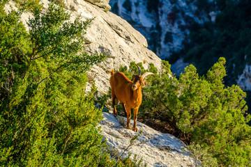 Chèvre sauvage brune sur les rochers des Gorges du Verdon. Alpes de Haute Provence. France.