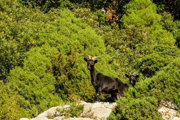 Deux chèvres sauvages noires sur les rochers des Gorges du Verdon. Alpes de Haute Provence. France.