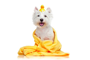 Happy dog after bath wrapped in a towel