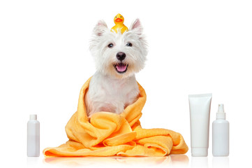 Happy west highland terrier after bathing