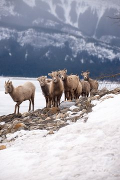 Young bighorn sheep in the snow - Canadian Rockies