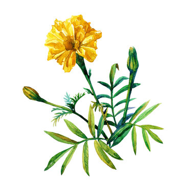 Yellow marigolds isolated on a white background painted in watercolor.