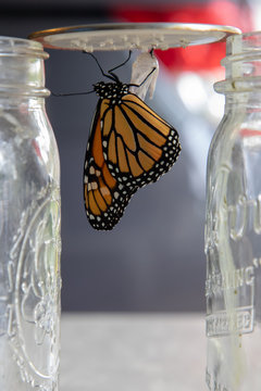 monarch butterfly after emerging from chrysalis