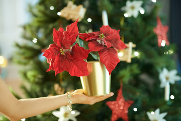 Closeup on red poinsettia in hand of woman near Christmas tree