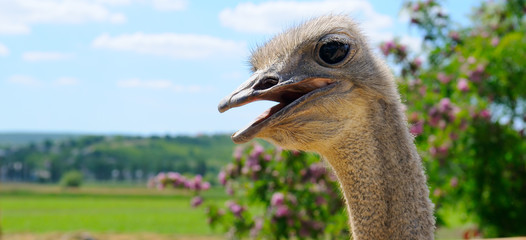 The head of an African ostrich against a scenic landscape. Wide photo.