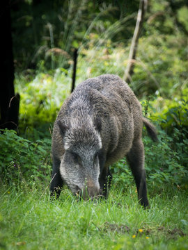 Wildschwein / Wildschweine im Forstenrieder Park