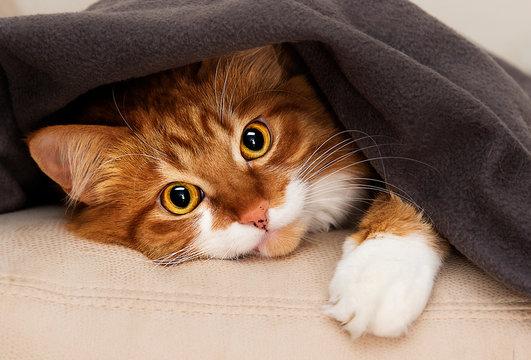 cat peeking under blanket