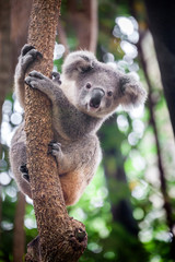 Aluminium Prints Koala Baby koala bear.