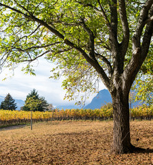 Wall Mural - old oak trees and golden yellow grapevines in late autumn