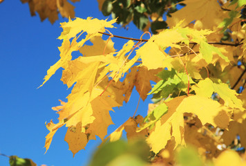 Wall Mural - branch of a maple tree with bright yellow leaves in contrast with blue sky in autumn