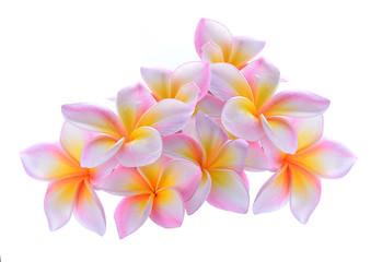 Frangipani flower isolated on white background