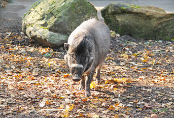 male visayan warty pig (Sus cebifrons) in outdoor enclosure in autumn