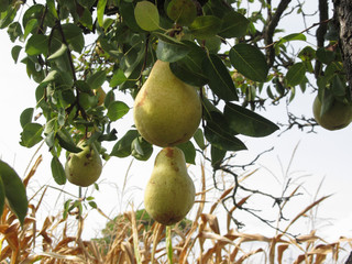 Ripe yellow pears hanging on a growing pear tree . Tuscany, Italy
