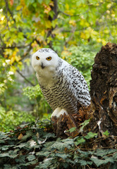 fluffy snowy owl (Bubo scandiacus) sitting on the rotten stump covered with ivy plants