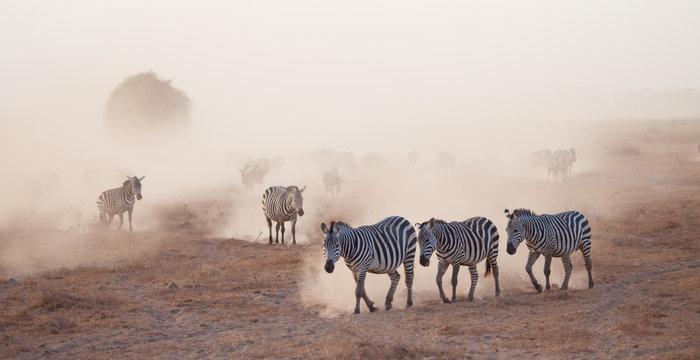 Dusty stampede of zebra and wildebeest in Africa at duskk