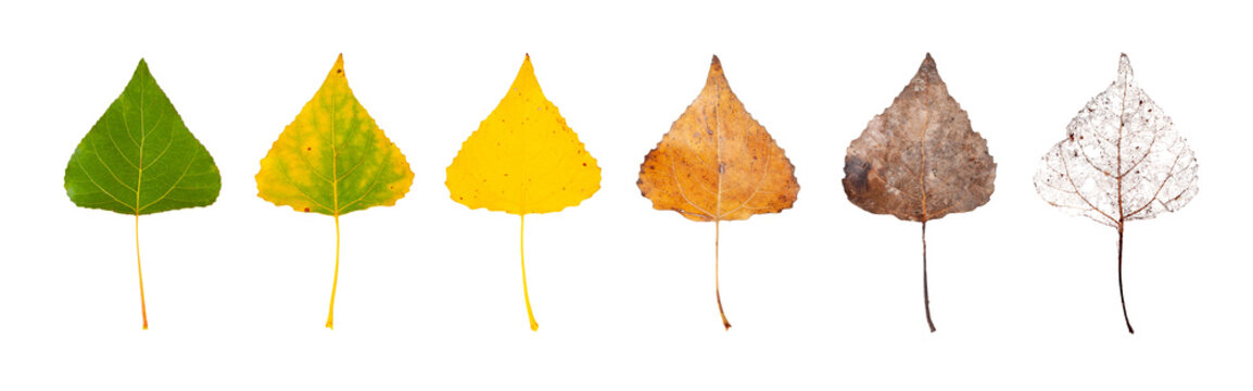 Row of leaves from green to rotten isolated on a white background. The concept of the biological life cycle and change of seasons.
