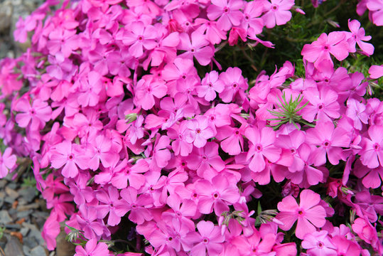 Phlox ground cover