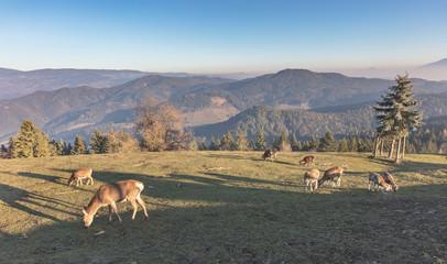 Herd of deer grazing on mountain Magdalensberg near Klagenfurt in Carinthia, Austria