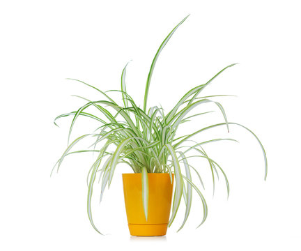 Flower chlorophytum in yellow pot isolated on white background. File contains a path to isolation.