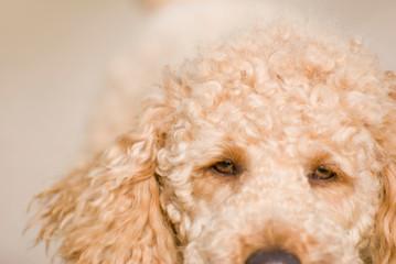 Nahaufnahme eines Pudels / Close-up of a poodle