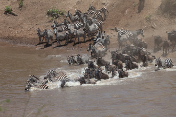 Stampede of wildebeest and zebra crossing the river in the Great Migration of Serengeti