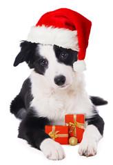 Boder Collie Welpe mit Weihnachtsmütze und Geschenken