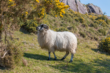 Schaf (Ovis) in Irland am Ring of Kerry