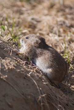 The narrow-headed vole (Microtus gregalis) eats the grass